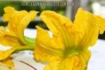 fleur-courgette-3