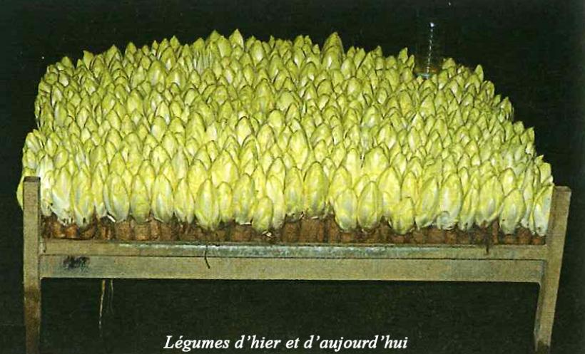 Cultura hidropónica de la endivia. Foto de l'École Normale de Lyon