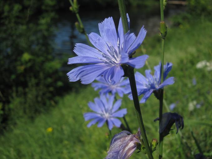 flor de Achicoria, foto de fldd